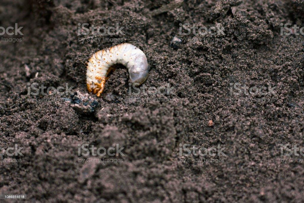 Larva Vile Disgusting Maggot Image Of Grub Worms Beetle Larvae
