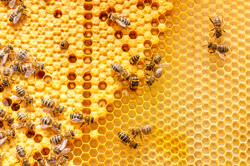 istock Larvae of bees in the combs. 693699628