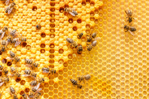 larvae of bees in the combs. - efficiency stock photos and pictures
