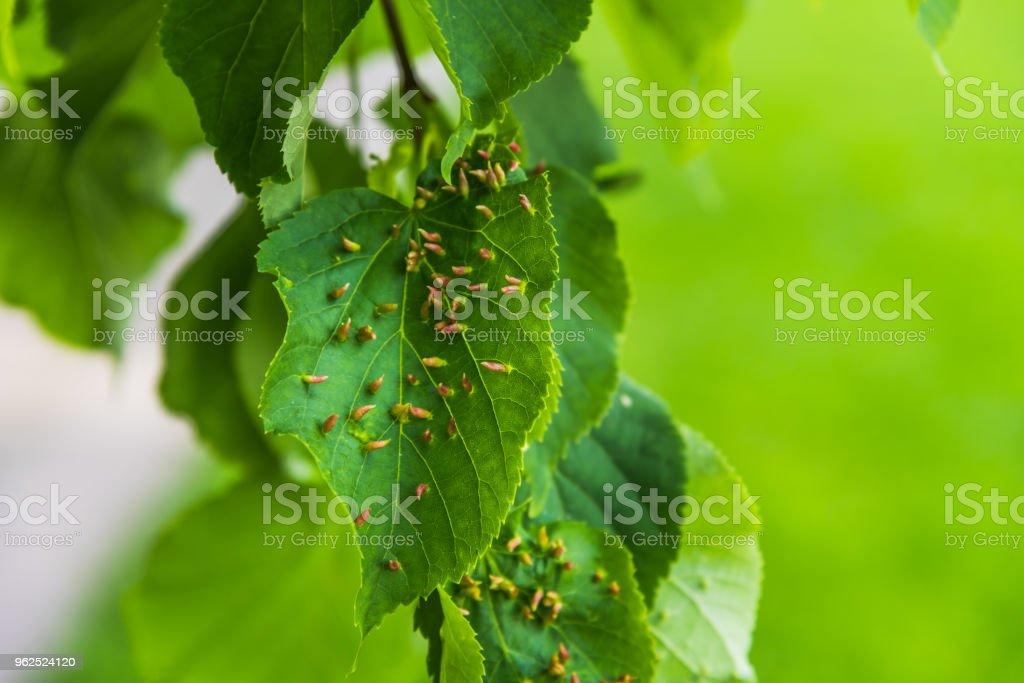 Larvas de lagartas na folha verde tília - conceito de doença da árvore - Foto de stock de Agricultura royalty-free
