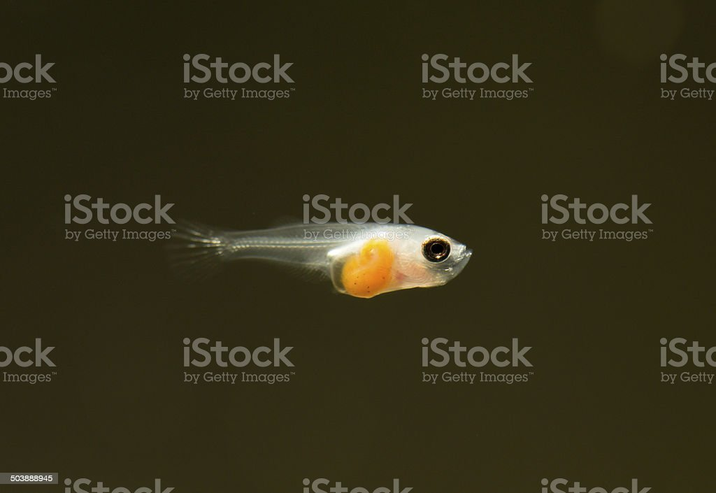 Larvae of fish. stock photo