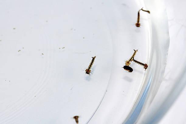 larvae von mücken - eierstich stock-fotos und bilder