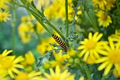 A larvae on a yellow flower stem in the wild