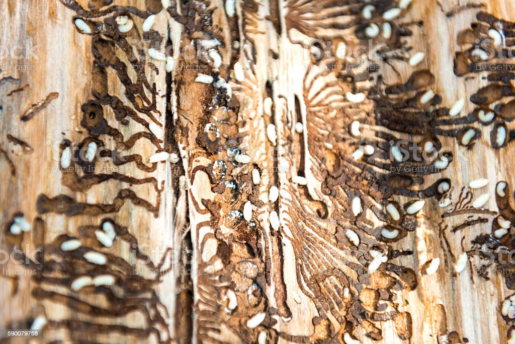 Larvaes of wood beetle on the wood stock photo