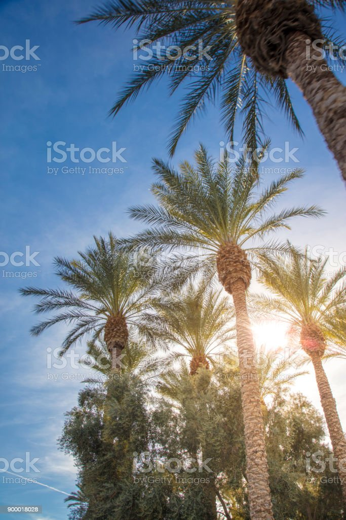 las vegas palm trees stock photo more pictures of clark county