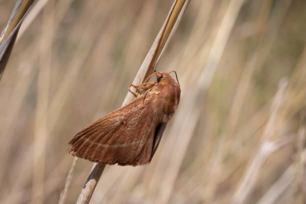 Lasiocampa quercus rest – Foto