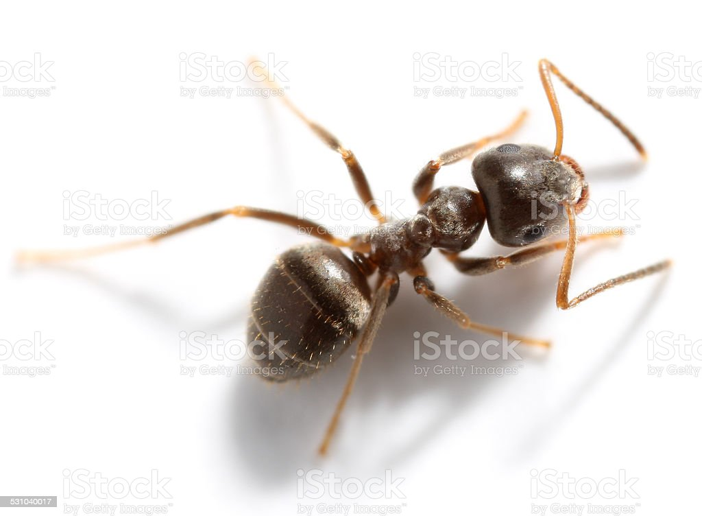 Lasius niger stock photo