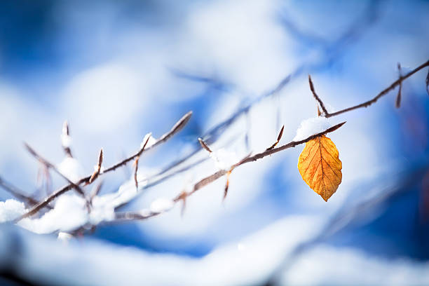 Last Autumn Leaf in the middle of Snowy Winter XXXL stock photo