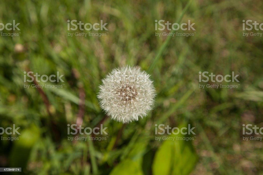 last days of a Dandelion stock photo