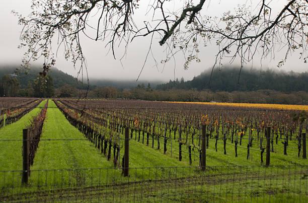 letzten herbst farbe foggy tag der weingegend napa valley, kalifornien - robert weinberg stock-fotos und bilder