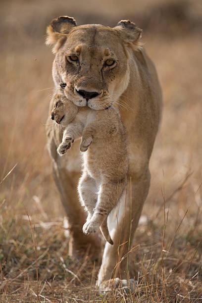 Last Lion cub stock photo