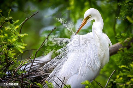 Great White Egret during nesting season pruning every feather.