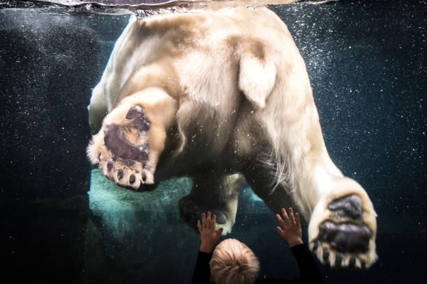 son kutup ayısı - omurgalı stok fotoğraflar ve resimler