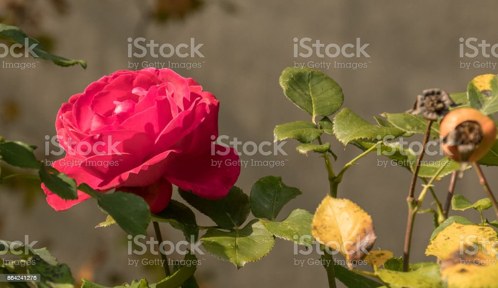 Last rose of summer royalty-free stock photo