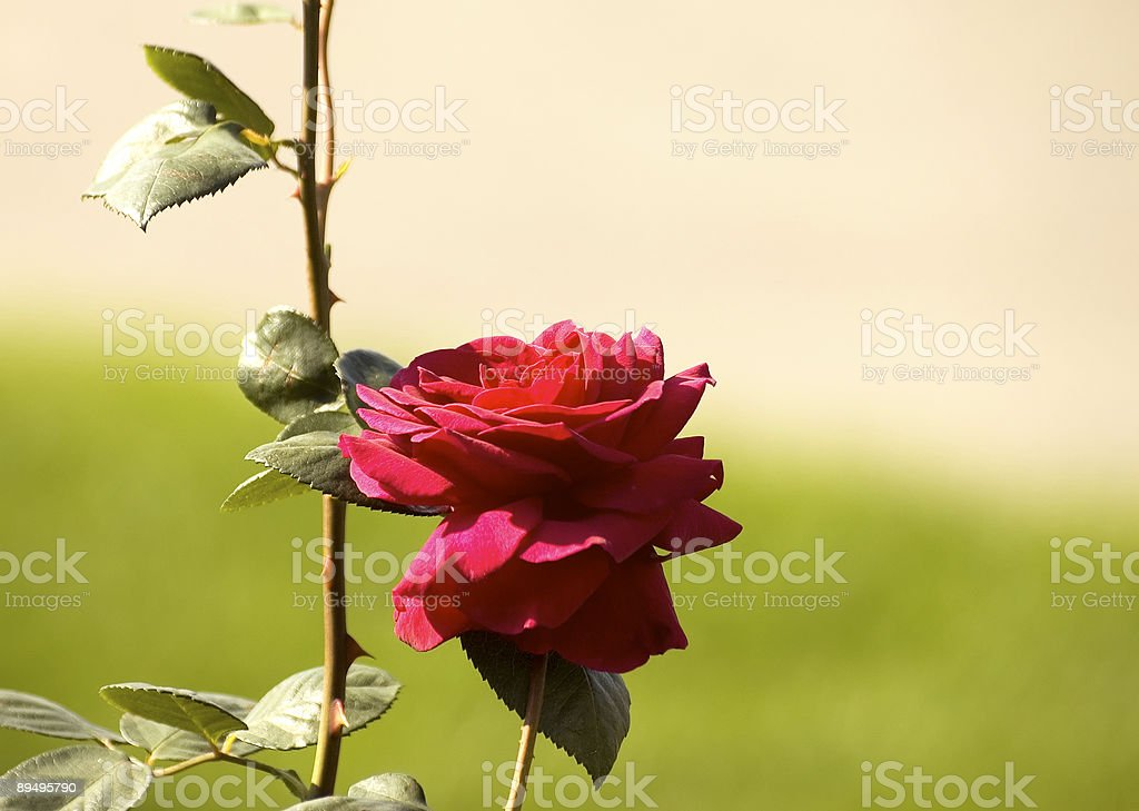 Ultimo rosa foto stock royalty-free