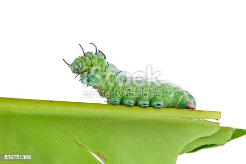 istock Last stage of largest caterpillar attacus atlas moth 536251389