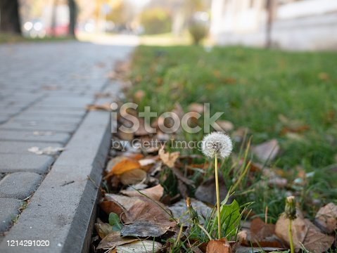 last standing dandelion at fall season on lawn near pedestrian pavement among falling leaves