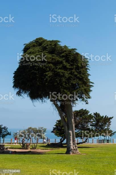 Photo of Last Surviving Monterey Cypress Tree in La Jolla, California