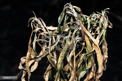 Last year's withered dead plant survived the winter cold on a black background close-up macro photography