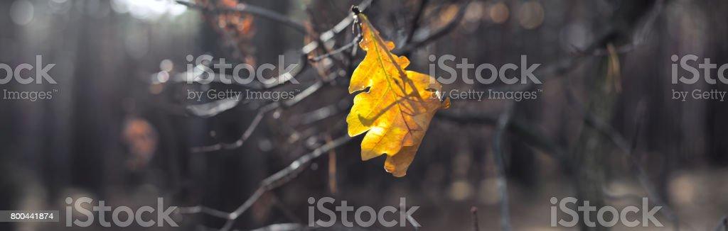 Last yellow leaf in dark autumn forest - autumn landscape, banner, panorama stock photo