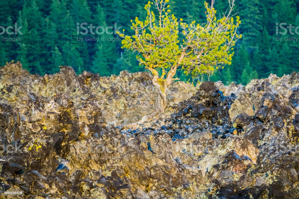 Late Afternoon Light highlights Pine Tree growing out of Black obsidian Lava Flow zbiór zdjęć royalty-free