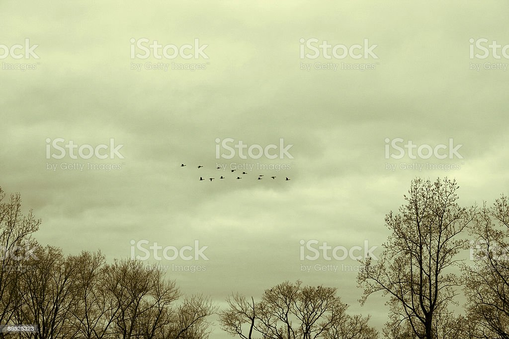 late autumn - Canadian geese are heading south royalty-free stock photo