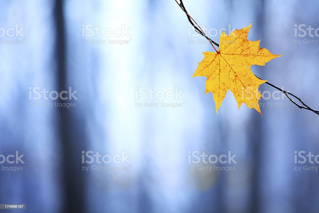 Late Autumn - Early Winter. Maple Leaf against Frosty Background royalty-free stock photo
