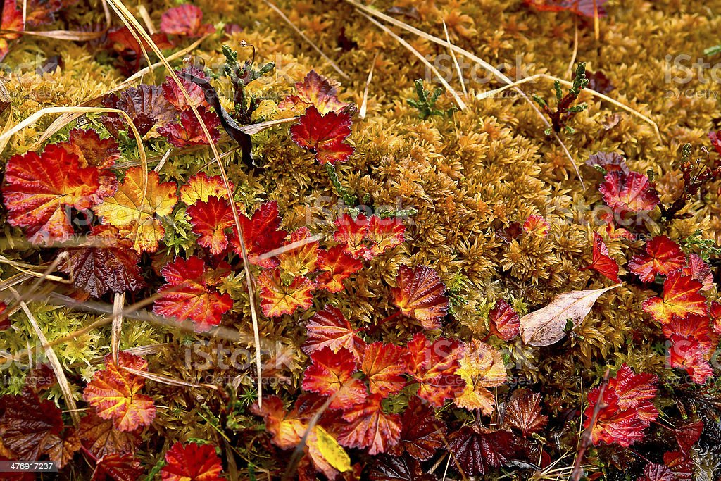 Late autumn in the Chukchi tundra. Variegated plants. stock photo
