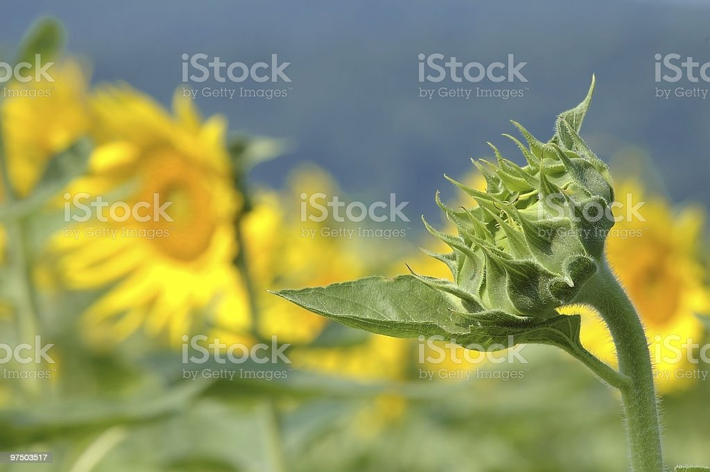 Late Bloomer royalty-free stock photo