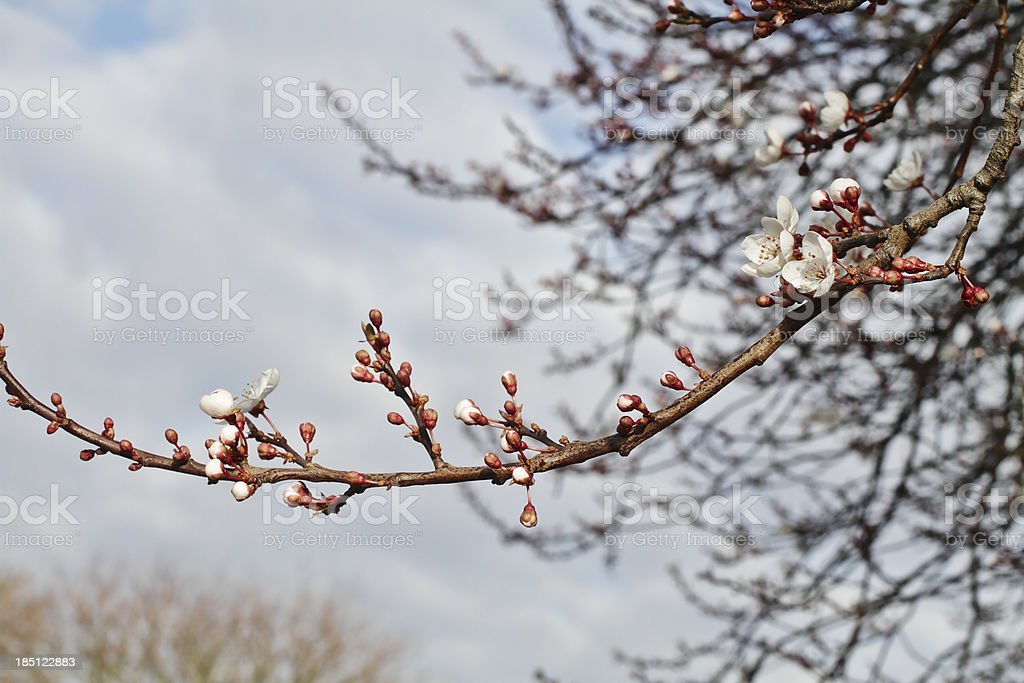 First blossom of spring Myrobalan plum stock photo