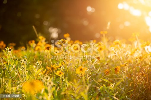 The sun setting on a field of black eyed Susan flower field in Pennsylvania.