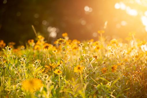 The sun setting on a field of black eyed Susan flower field in Pennsylvania.
