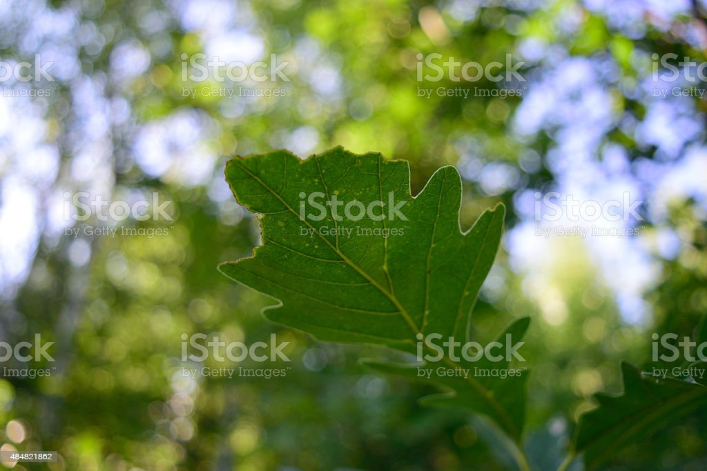 Late Summer Bur Oak (Quercus macrocarpa) Leaf stock photo