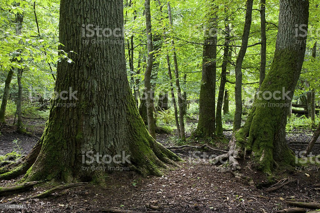 Late summer forest landscape of deciduous stand royalty-free stock photo