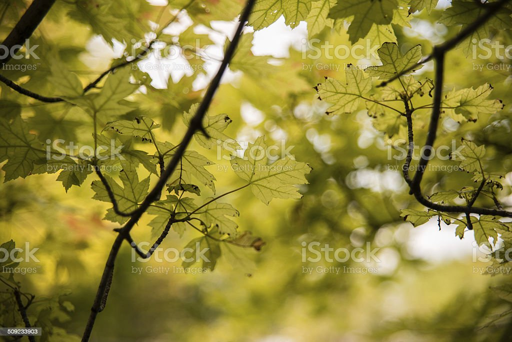 Late Summer Leaves stock photo