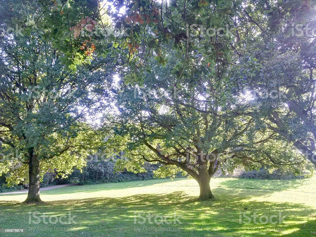 late summer oak trees stock photo