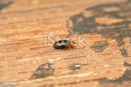 Lateral shot of Bed bug, Cimex lectularius, Pune, Maharashtra, India. feed exclusively on the blood of warm-blooded animals