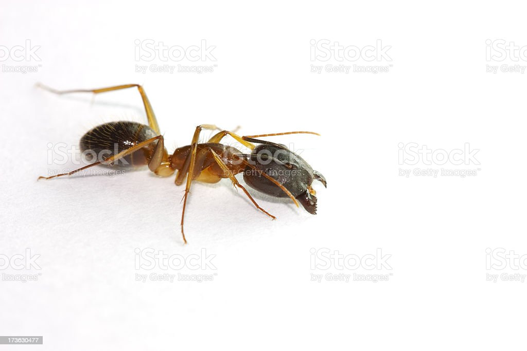Lateral view ant royalty-free stock photo
