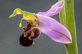 Lateral view of a Bee orchid wild flower, ophrys apifera
