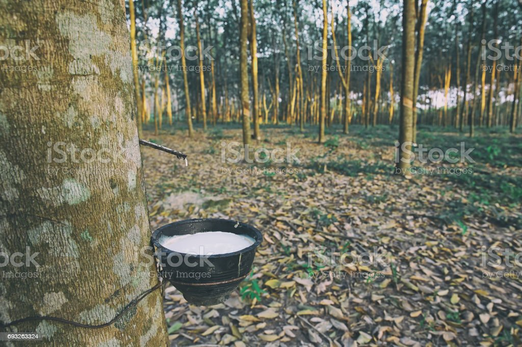 Latex extracted from natural rubber tree stock photo