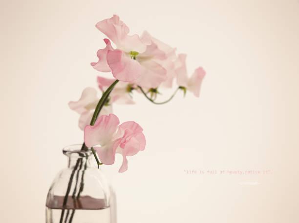 platterbse in vase. - rosa zitate stock-fotos und bilder