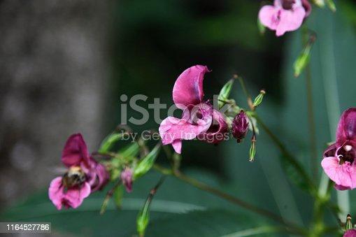 Lathyrus tuberosus, tuberous pea, tuberous vetchling, earthnut pea, aardaker, tine-tare. Picture taken in austria