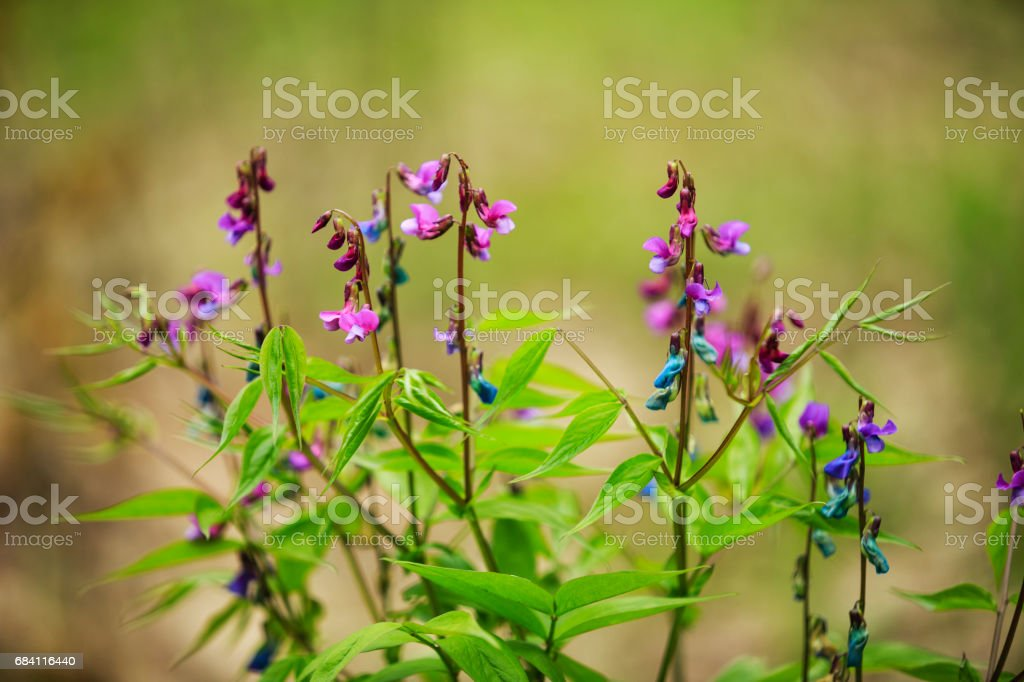 Lathyrus vernus stock photo