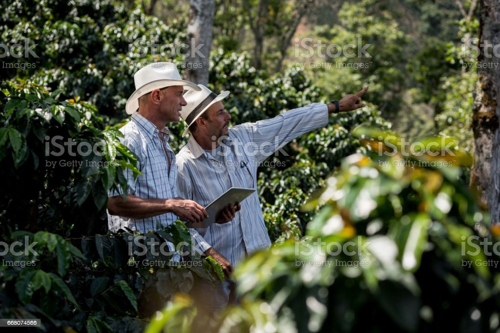 Latin American men managing a coffee farm stock photo