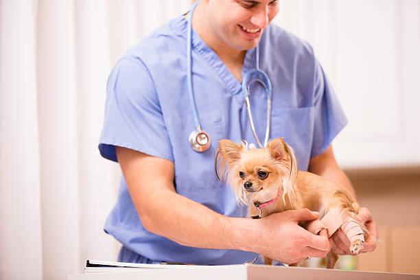 Latin descent veterinarian bandages chihuahua dogs injured leg picture id531887653?b=1&k=6&m=531887653&s=612x612&w=0&h=ieen62w2lyhqwpedfqgisd3hfjuvpygao2gozhfb3ig=