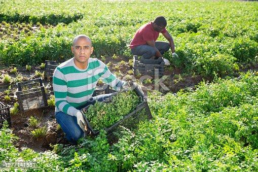 istock Latino male farmer picking parsley on field 1277141851
