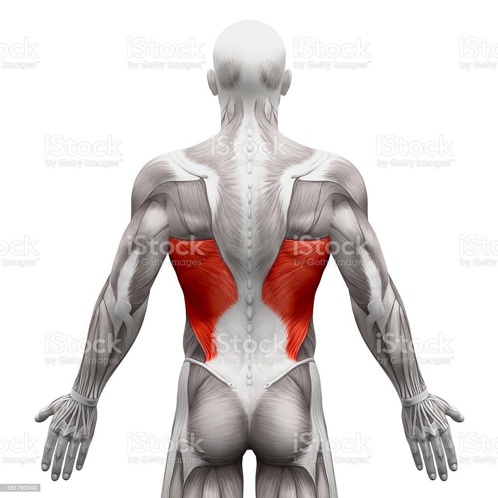 Fotografía de Músculo Dorsal De Anatomía Músculos Aislado Sobre ...