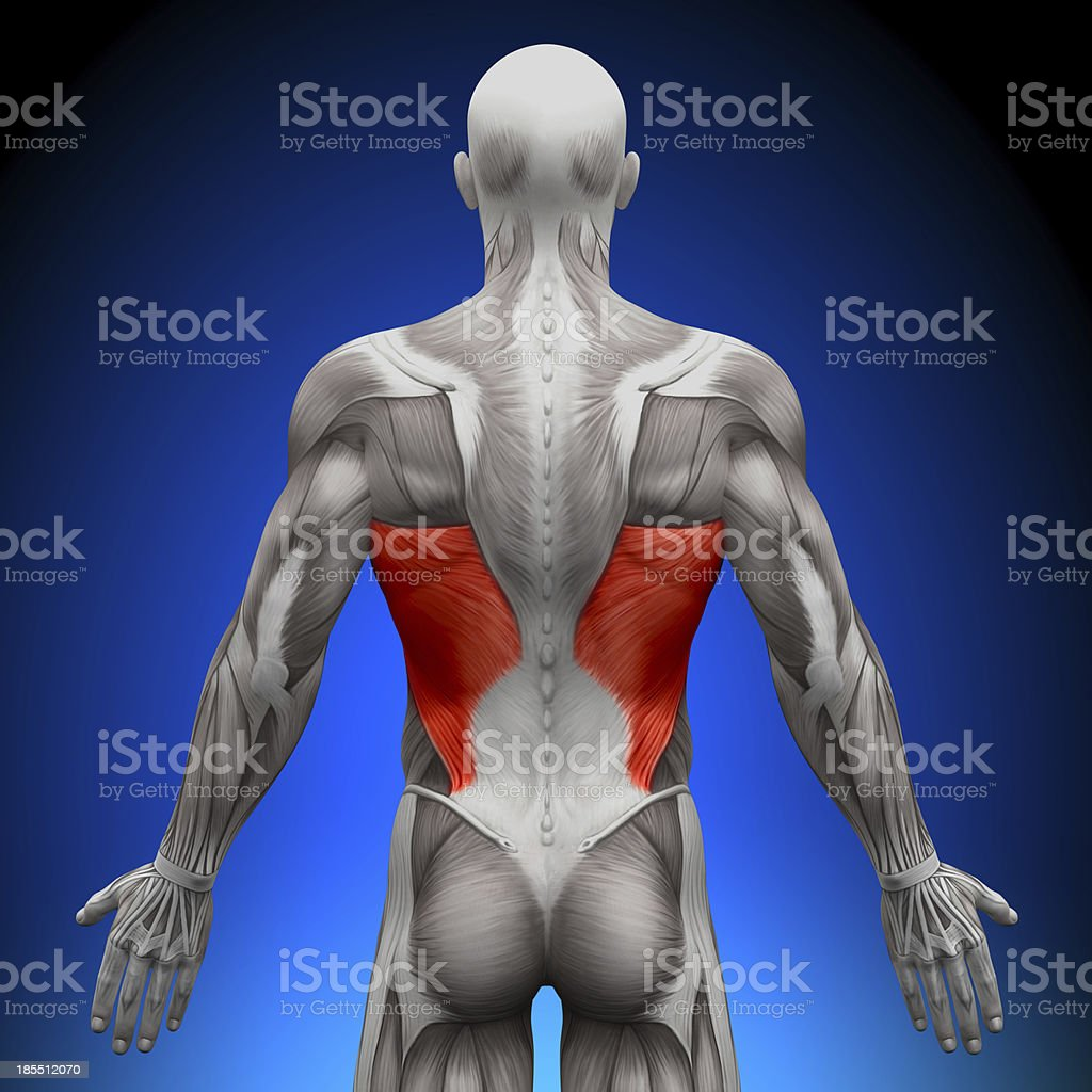 Latissimus Dorsi - Anatomy Muscles stock photo
