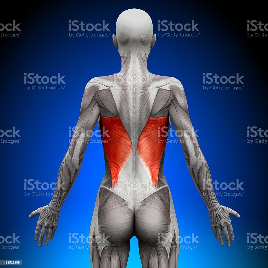 Breitester Rückenmuskelweibliche Anatomie Muskeln Stock-Fotografie ...