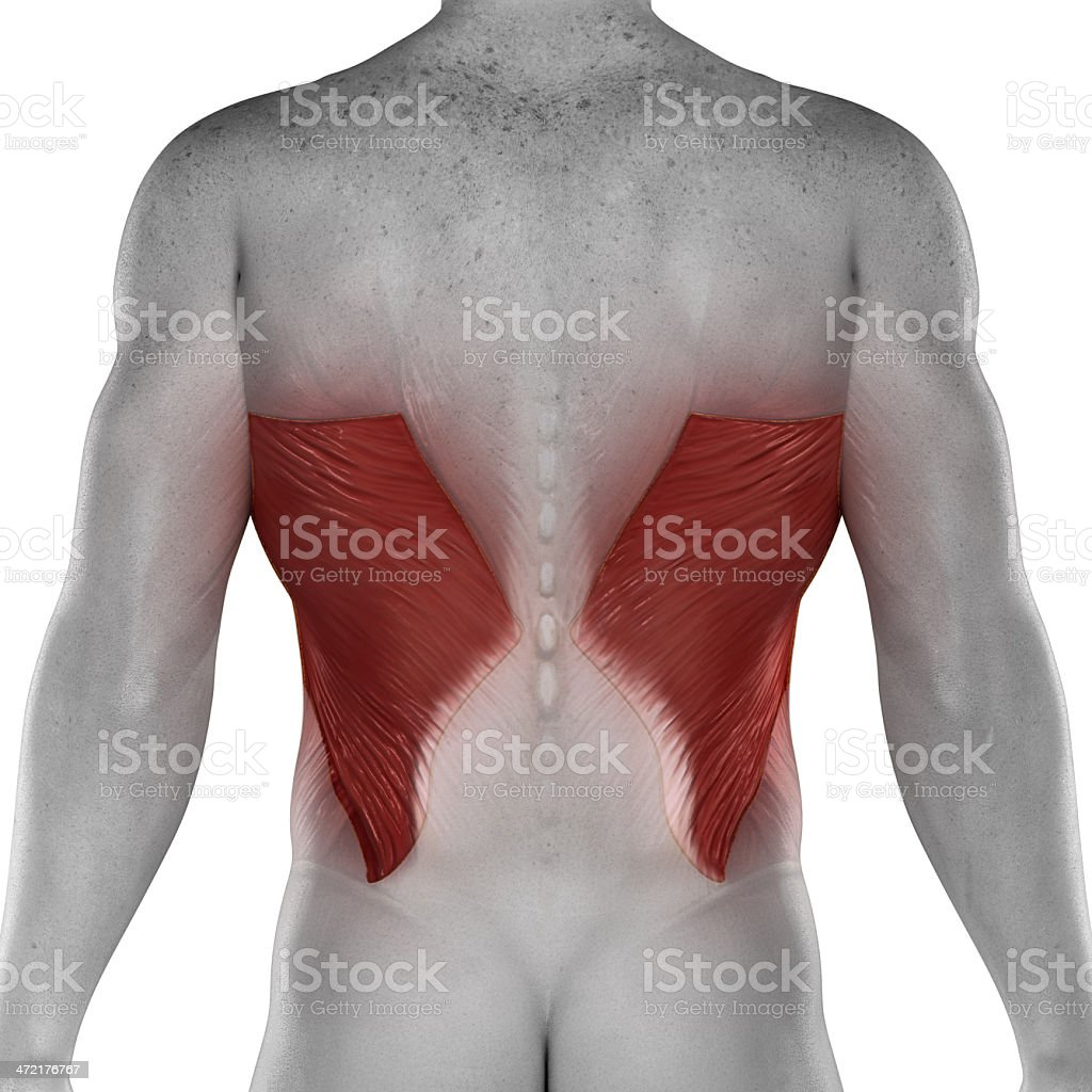 Latissimus dorsi male muscles anatomy posterior view isolated stock photo